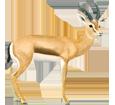 Gazella dorcas ##STADE## - manto 20