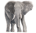 Elefante ##STADE## - manto 52