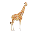 Giraffa ##STADE## - manto 34