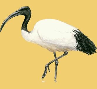 Accogli un animale della savana di specie ibis sacro