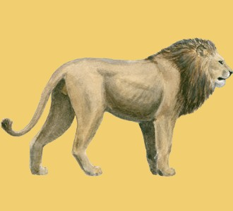 Leone ##STADE## - manto 2
