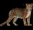 Leopardo ##STADE## - manto 46